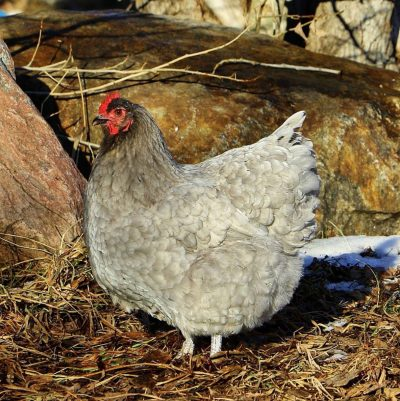 The Challenges of Chicken Production