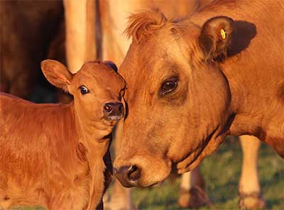 Animal welfare cattle